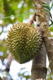 Durian, The king of fruit Stock Image