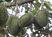 Durian, king of fruit. Royalty Free Stock Image