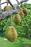 Durian, king of tropical fruit. Hanging on brunch tree Royalty Free Stock Image