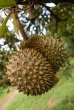 Durian, Koning van fruit in Thailand Royalty-vrije Stock Foto's