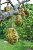 Durian, koning van tropisch fruit Royalty-vrije Stock Afbeelding