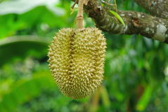 Durian le meilleur fruit au monde Image libre de droits