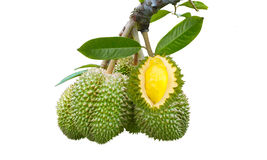 Durian an mit backhround Lizenzfreies Stockbild