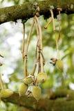 Durian novo Fotos de Stock Royalty Free