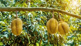 Durian op boom royalty-vrije stock fotografie
