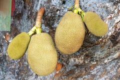 durian owoc odosobniona fotografia tropikalna Zdjęcie Stock