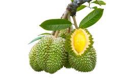 Durian på med backhround Royaltyfri Bild