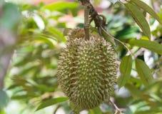 Durian på träd Arkivfoton