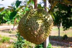 durian på trädet i fruktträdgårdträdgården, konung av frukter Thailand fotografering för bildbyråer