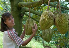In the durian plantation Royalty Free Stock Photos