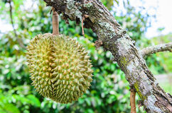 Durian que pendura na árvore do ramo Fotos de Stock Royalty Free