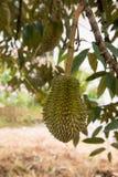 Durian, rei das frutas Fotografia de Stock