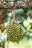 Durian, roi de fruit, sur un arbre Images stock