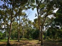 Durian& x27; s树 图库摄影