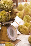 Durian on scales at market popular king of fruit for export product Stock Photos
