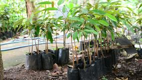 Durian seedlings prepared for planting