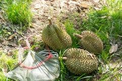 Durian som skördas från trädet Royaltyfria Foton