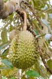 Durian sull'albero Immagini Stock