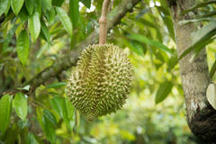 Durian sull'albero nel giardino Fotografia Stock