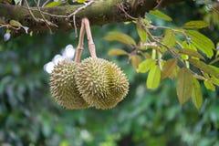 Durian sur l'arbre photographie stock libre de droits