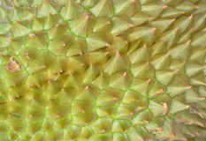 Durian thorn texture and background Stock Photo