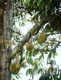 Durian on tree stock photo