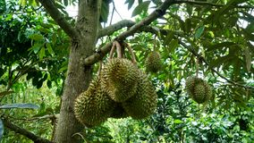 The Durian on the tree. The Durian on a tree branch in the fruit orchard in Long Khanh - Dong Nai Stock Images