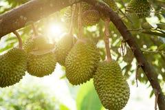 Durian tree in farm. stock photos