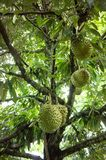 Durian tree in the fram fruit. Durian organic stock photography