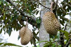 Durian on  tree Stock Images