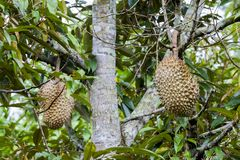 Durian on  tree Royalty Free Stock Photography