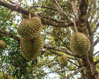 Durian tree Royalty Free Stock Photo
