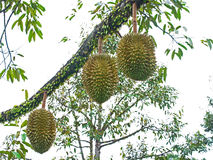 Durian tree Royalty Free Stock Images