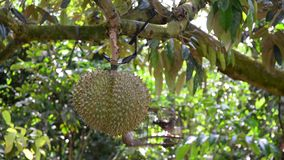 Durian tree and fruits. Tropical fruit, durian fruit on the tree in Mekong Delta, southern Vietnam stock footage