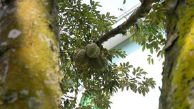Durian tree and fruits. Tropical fruit, durian fruits on the tree in Mekong Delta, southern Vietnam stock video footage