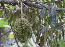 Durian on tree Royalty Free Stock Images