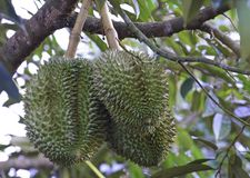 Durian on tree Stock Photography