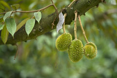 Durian on tree Royalty Free Stock Image