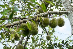 Durian on the tree Royalty Free Stock Image
