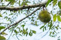 Durian on the tree Royalty Free Stock Photo