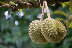 Durian on the tree. Two Durian on the tree stock photo