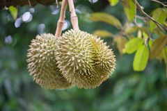 Durian on the tree. Two Durian on the tree royalty free stock photos