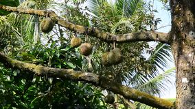 Durian trees stock footage