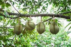 Durian trees Stock Photos