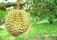 Durian trees in the garden of Rayong, Royalty Free Stock Photos