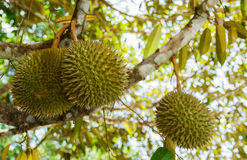 Durian trees in the garden Royalty Free Stock Photos