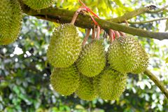Durian trees stock photo