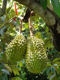 Durian trees Stock Photos