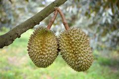 Durian trees Royalty Free Stock Images