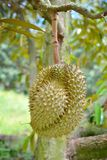 Durian trees Royalty Free Stock Photography